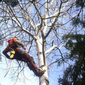 Green Giant Tree Removal